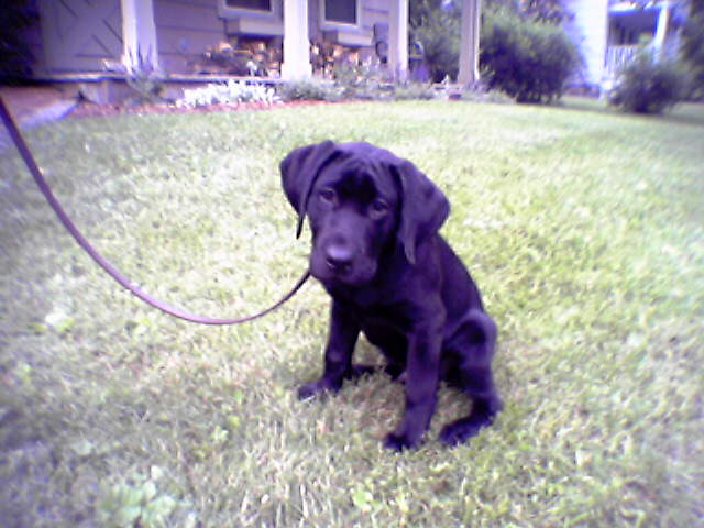 Jake, an adorable, male Lab puppy